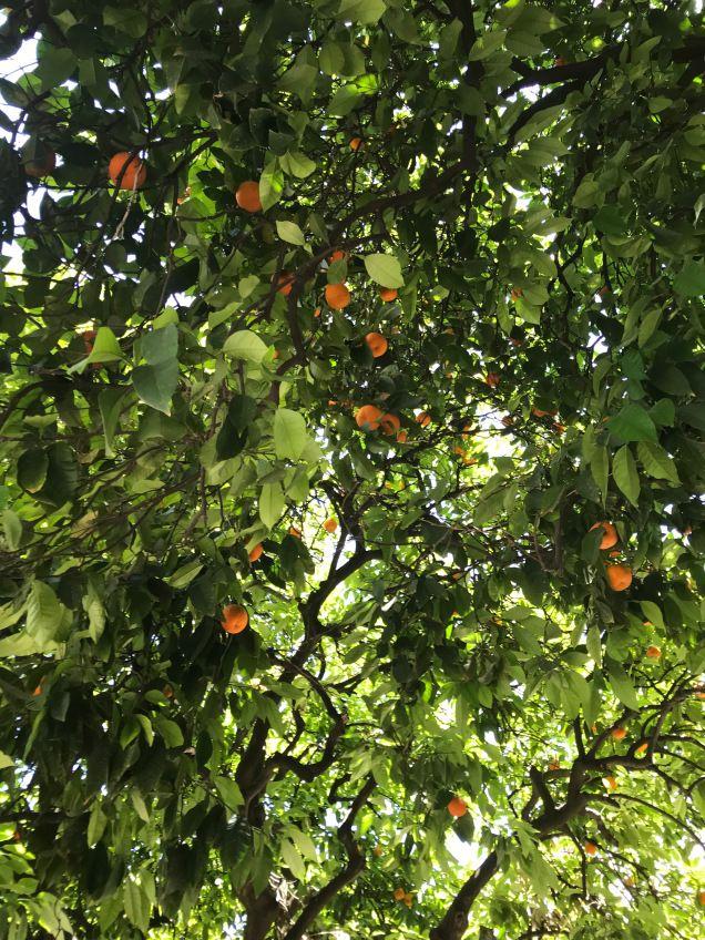 Naranjos del patio de Santa Cruz
