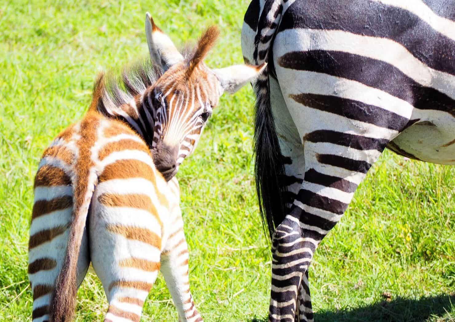 Zebra in the Serengeti - Rock My Adventure