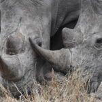 Rinocerontes en Silvan Safari Una historia en curso: Blog de Silvan Safari
